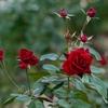 名残薔薇‥