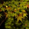 紅葉 なかなかすすまない 東山植物園ライトアップ