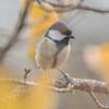 優し鳥(シジュウカラ)(2)