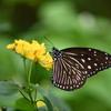 南国の蝶XXXIV!