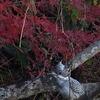紅葉に山翡翠