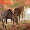 秋鹿 ~奈良公園の秋~