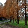 メタセコイア冬紅葉