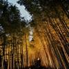 ライトアップ直後の竹林