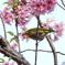 大島桜にメジロ
