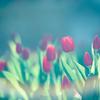 _tulip:flare