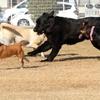 大型犬ばかりの中の柴犬