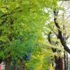 谷保第三公園 紅葉した銀杏並木