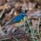 青い鳥をみつけました。(ルリビタキ)(1)