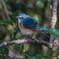 青い鳥をみつけました。(ルリビタキ)(2)