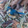 青い鳥に会ってきました。(ルリビタキ)(2)