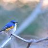 癒される青い鳥