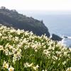 潮風と水仙が薫る風景