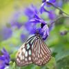 蝶の楽園 Ⅱ