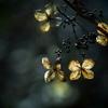 TAKUMARで撮る枯れ紫陽花  ④