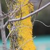 街路樹の黄色い苔