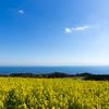 早咲菜の花と青空