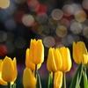 花便り - ファンタジーランドのイエローフライト -