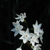 五山の白小花…2