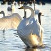 おはようsun♪ 水上のバレリーナ コハクチョウの羽ばたき✨  ①