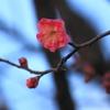 早くも梅が~ ^^