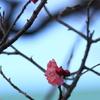 梅が咲いてた~2
