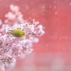 雪桜めじろ