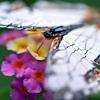 石崖蝶とランタナ