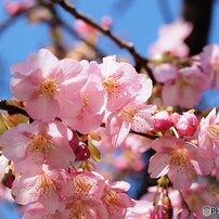 汐入、河津桜~Ⅵ