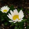 花言葉は冬の足音