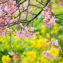 南伊豆の桜