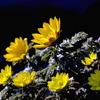 写真句:福寿草咲く