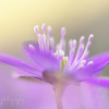 雪割草が咲きました☆.。.:*・