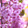 メジロ 桜の壁からコンニチワ