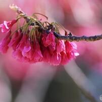 平成最後を咲いた桜達、、、ⅱ