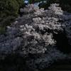 御苑の桜「高遠小彼岸桜」