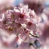 御苑の桜「陽光」