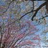御苑の桜「大島桜&陽光」