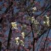 御苑の桜「大島桜」