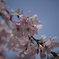 小石川後楽園 しだれ桜