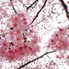 花曇りなう昭和記念公園