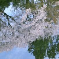 2019桜  風景