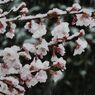 桜に雪 DSCN7387