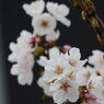 桜咲く 2 DSCN7300