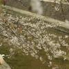 夙川の桜、記念写真