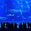 ジンベイザメの複数飼育は世界初
