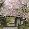 大涼寺の枝垂れ桜❀