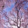 春ソラ•*¨*•.¸¸♬