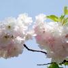 里桜:松月