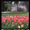 チューリップと桜5
